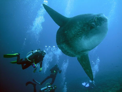 MOLA MOLA Season approaching in Bali