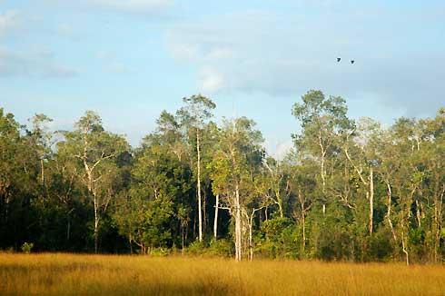 Greater Hornbills