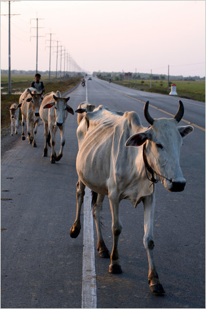 Cows on route 5