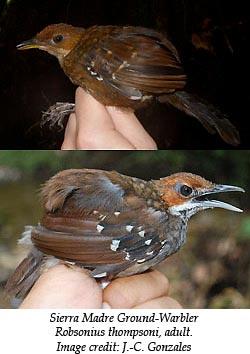 Ground-Warbler-Philippines_250