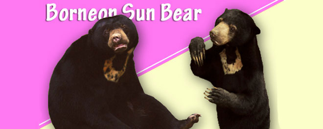sunbear-markings_660