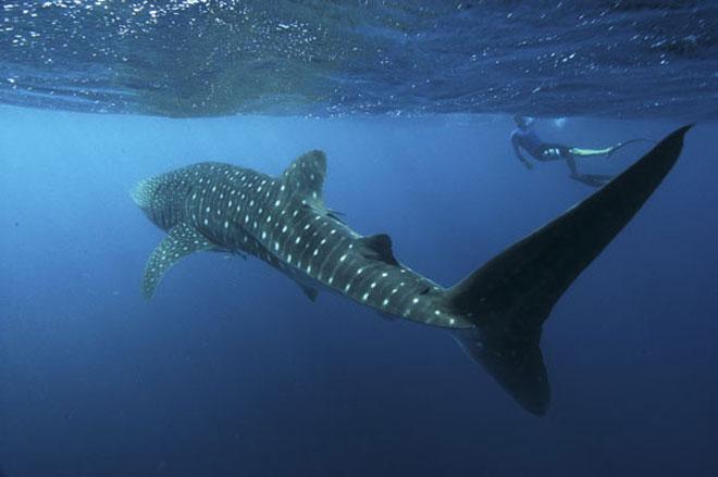 Whaleshark_snorkeler_660