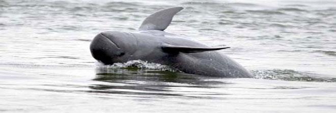 Irrawaddy-Dolphin