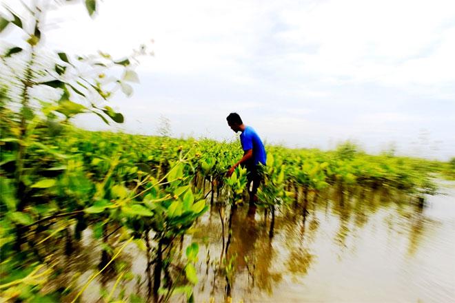 Java-Mangrove-plating