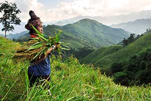 https://www.symbiosis-travel.com/userfiles/image/Laos/Tiger%20Trail/TT_Hmong-Rice-harvester-02.jpg